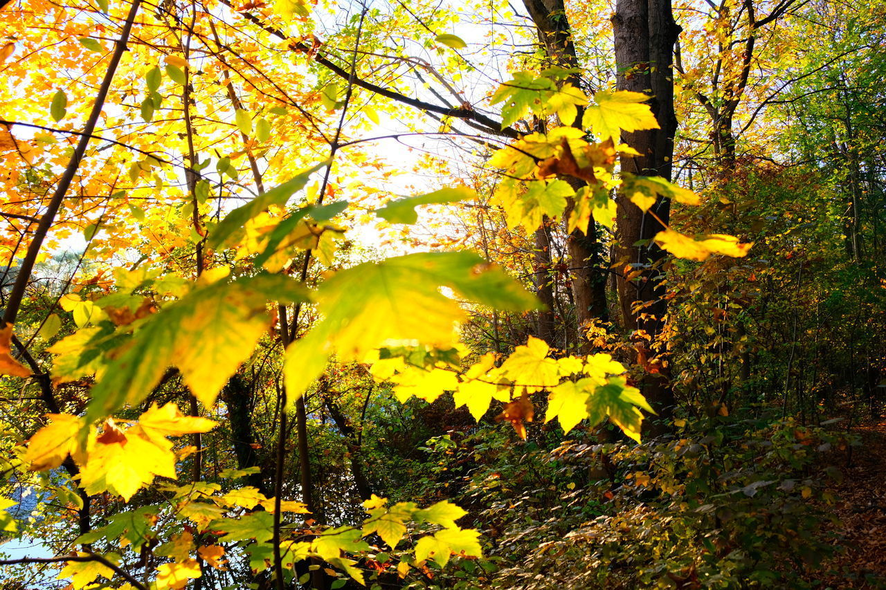 plant, yellow, tree, beauty in nature, growth, autumn, flower, nature, flowering plant, change, tranquility, branch, no people, day, plant part, tree trunk, land, leaf, trunk, close-up, outdoors, springtime, maple leaf, spring