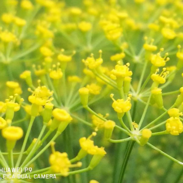 Flower Yellow Plant Nature Growth Green Color Outdoors Fragility Agriculture Day Springtime Freshness Close-up No People Beauty In Nature Backgrounds Flower Head dill