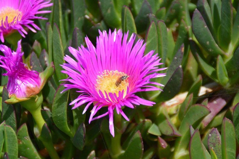 Ape Fiore Viola Mediterraneo Natura Ribera Sabbia Sicilia