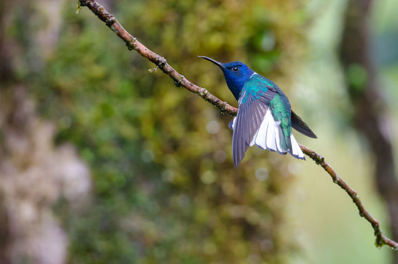 White-necked Jacobin (Florisuga mellivora) - male Costa Rica Florisuga Mellivora White-necked Jacobin Animal Animal Wildlife Animals In The Wild Bird Branch Hummingbird Nature Outdoors Perching Rainforest Tree Tropical Wildlife