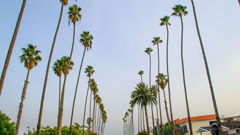 Palm Row in Sant Monica California Cat City Friendlylocalguides Landscape Los Losangeles Monica Nature Palms Photography Row Santa Sky Street Traveling USA Visit Walking Winter Ángeles