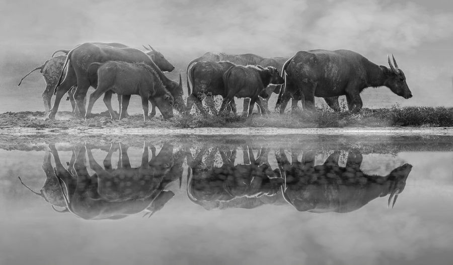 Buffaloes walking by lake during foggy weather