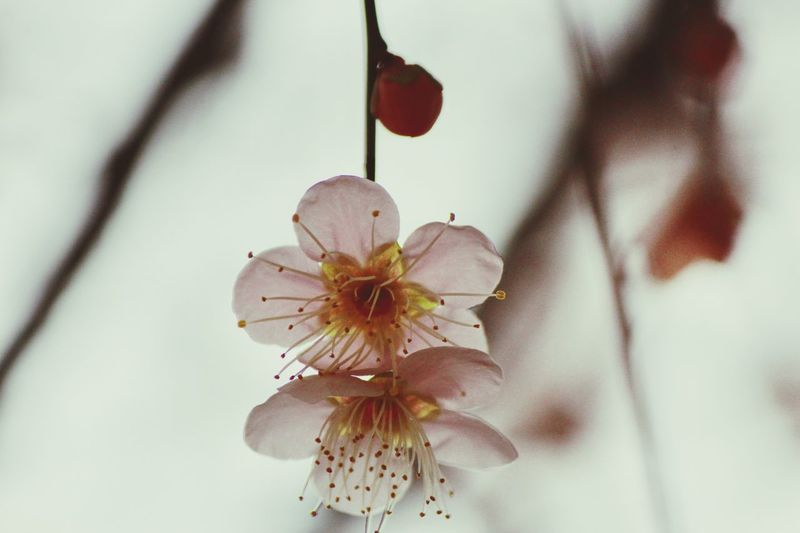 Japanese Plum Blossom Ume Blossom Plant Flower Close-up Beauty In Nature Flowering Plant Growth Freshness Day Pollen Branch Flower Head Fragility Nature Cherry Blossom Sakura