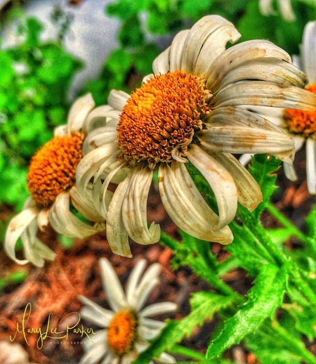 Wildflowers Flower Head Nature Petal Close-up Summer Season  Yellow Leaves EyeEm green white