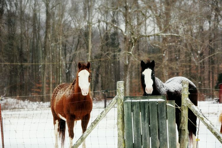 Brothers From Another Mother Horse Brothers Brothers Shades Of Winter Animal Themes Snow Winter Mammal Cold Temperature Nature Domestic Animals Outdoors No People Animal Wildlife Beauty In Nature Tree Day