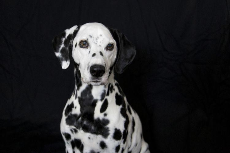 Close-Up Of Dalmatian Dog Against Black Background