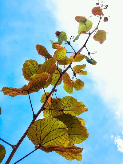 Leaf Low Angle View Sky Growth Cloud - Sky Day Nature Outdoors No People Plant Tree Beauty In Nature Fragility Freshness Close-up Gold Color Leaves Bauhinia Aureifolia Netted Venation Leaf Shape
