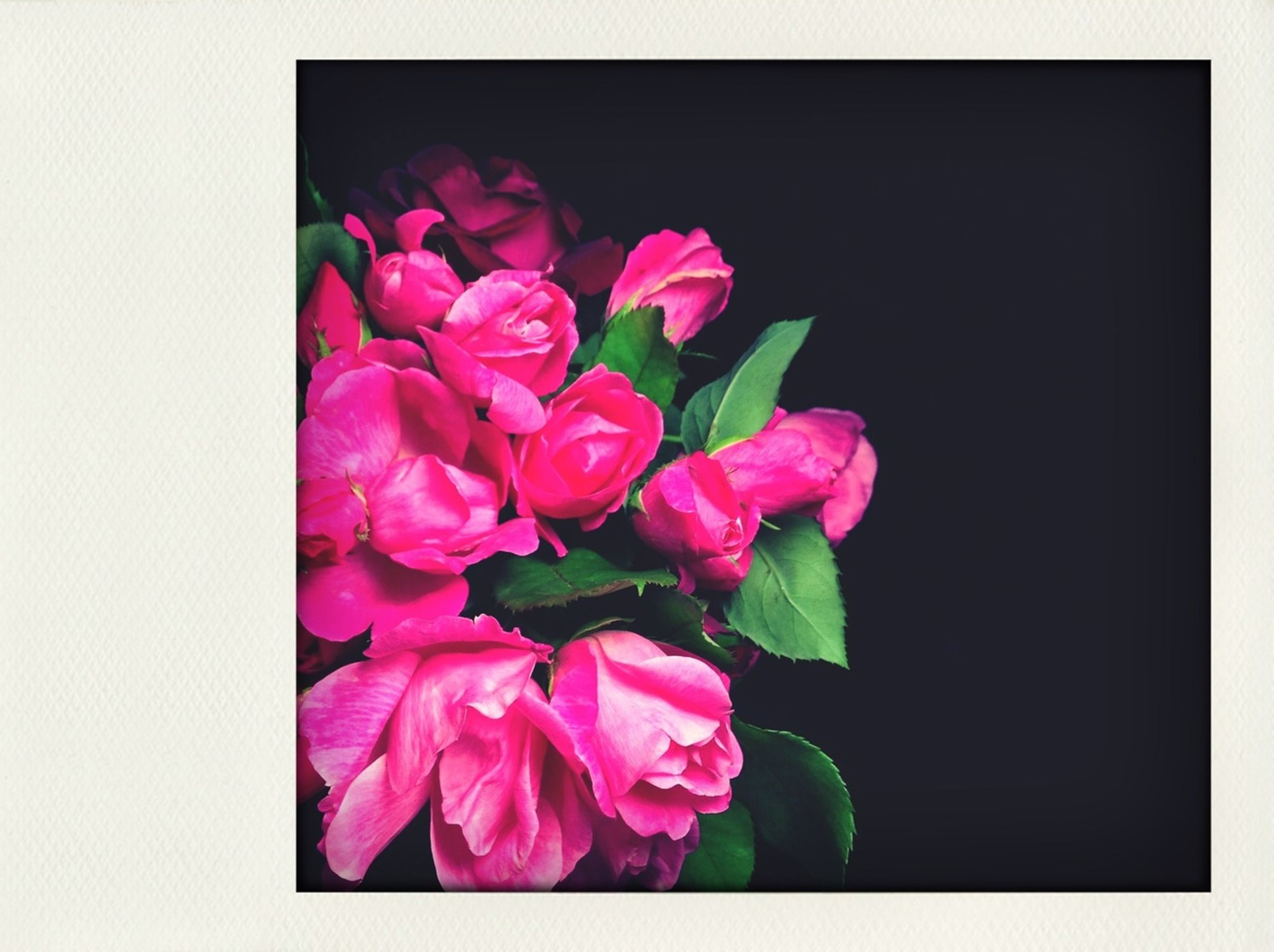 flower, petal, freshness, fragility, flower head, pink color, beauty in nature, studio shot, growth, close-up, indoors, nature, rose - flower, transfer print, plant, auto post production filter, blooming, leaf, bunch of flowers, no people