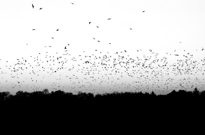 Silhouette birds flying in the sky