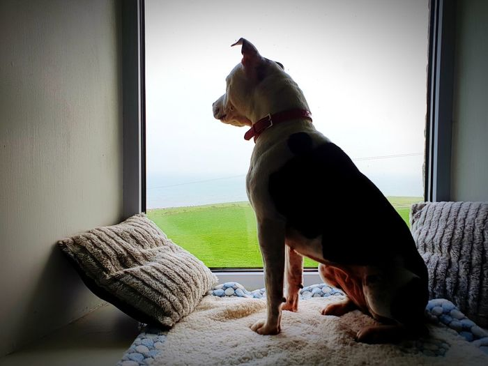 peaceful pet Peaceful View Taking Photos Taking Pictures Mobilephotography Mobile Photography Room With A View Stafffordshire Bull Terrier Pets Sitting Dog Window Home Interior Window Sill Looking Through Window Window Frame Home