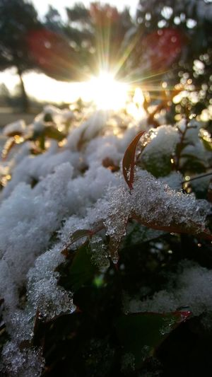 Trees Green Color White Color Sunrice Morning Snow Ice Bushes Nature No People Sunlight Outdoors Beauty In Nature Day