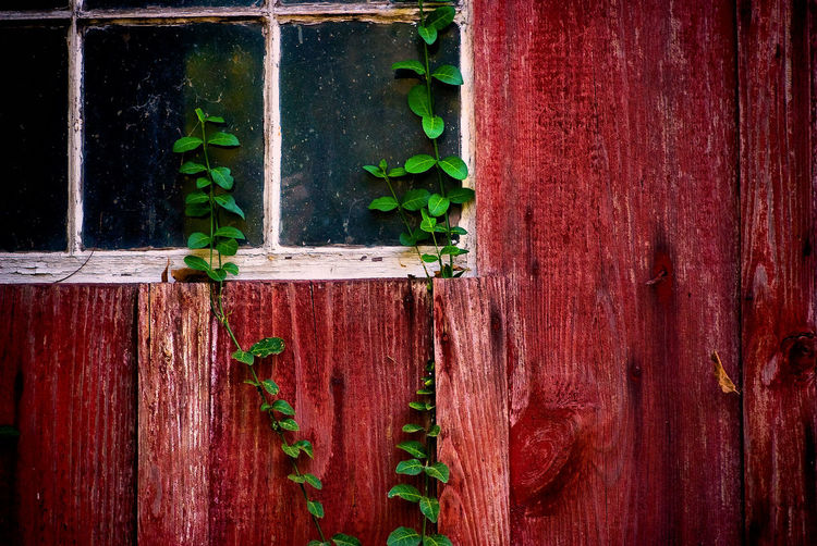 Close-up of ivy growing on wood