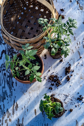 High angle view of potted plants in basket on table