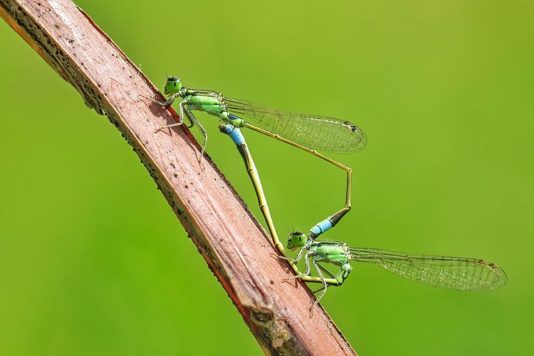 love damselp Full Length Perching Insect Living Organism Tail Green Background Animal Themes Close-up Grass Green Color Damselfly Camouflage Dragonfly Animal Leg Animal Limb Animal Wing