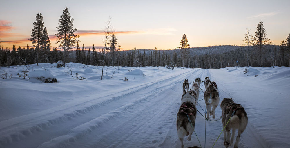 Rear view of sled dogs on snow covered field against sky