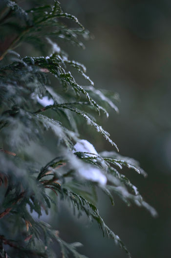 Close-Up Of Snow On Plant Leaves