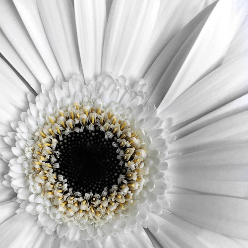 White Theme. White Gerbera. Macro. iPhone 6. Backgrounds Beauty In Nature Close-up Design Extreme Close-up EyeEm Nature Lover Flower Flower Head Flowers Fragility Freshness Full Frame Indoors  IPS2016White Macro Macro_collection Nature No People Pattern Petal Pollen Single Flower Textured  White Color