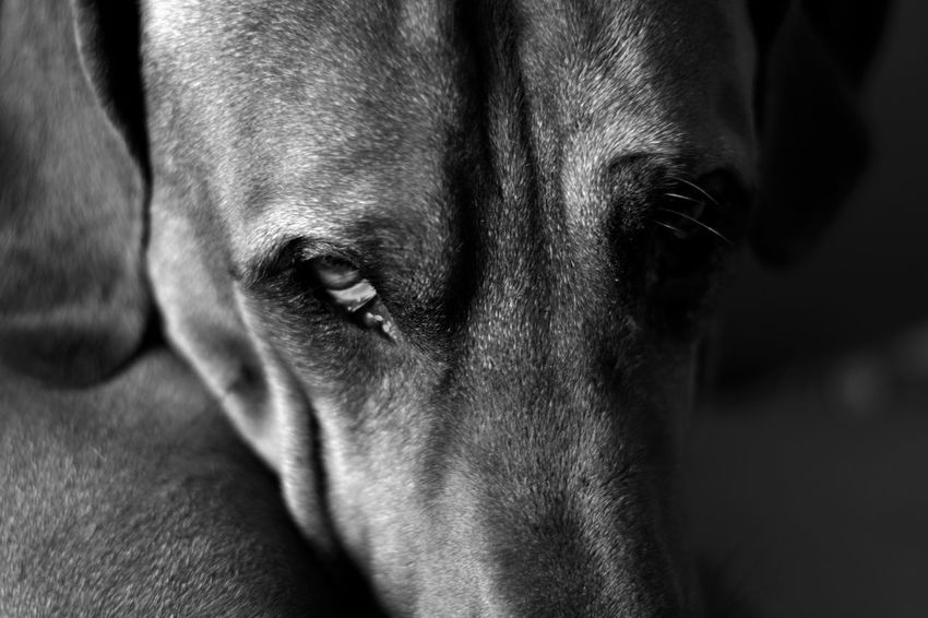 look at me .. Black And White Monochrome Capture The Moment From My Point Of View One Animal Animal Head  Animal Body Part Close-up Pets Domestic Animals Animal Themes Dog Rhodesianridgeback Eyes Taking Photos Dogs Of EyeEm My Ben On Eyeem Eye4photography  EyeEm Gallery The Week Of Eyeem Indoors