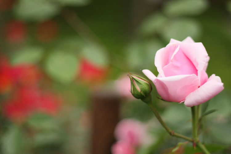 Relaxing Flowers Flower Collection EyeEm Flower Bokeheffect Bokeh Love ♥ Rosé バラ