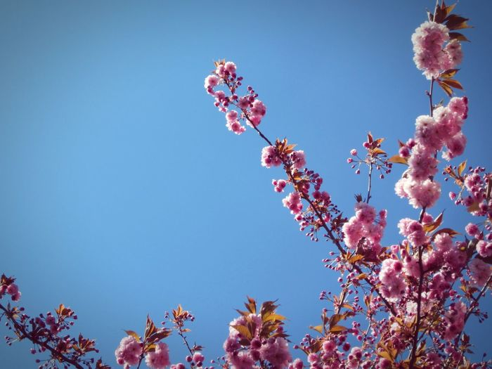◽ heavenly 3◽I just love the intensity of colour on this sunlit blossom 🌸 ➡ 💜 🌸 💜 Blossom Blue Sky Pink Flowers Blue Sky Hello World Minimalist Fine Art Simplicity Negative Space Abstract The Week On Eyem Friday Nature_collection Landscape_collection EyeEmNatureLover Beauty In Nature Lindsay's Initial Concepts Tree_collection  Pink Blossoms Sky And Branches Pink Picture Of The Day Millennial Pink