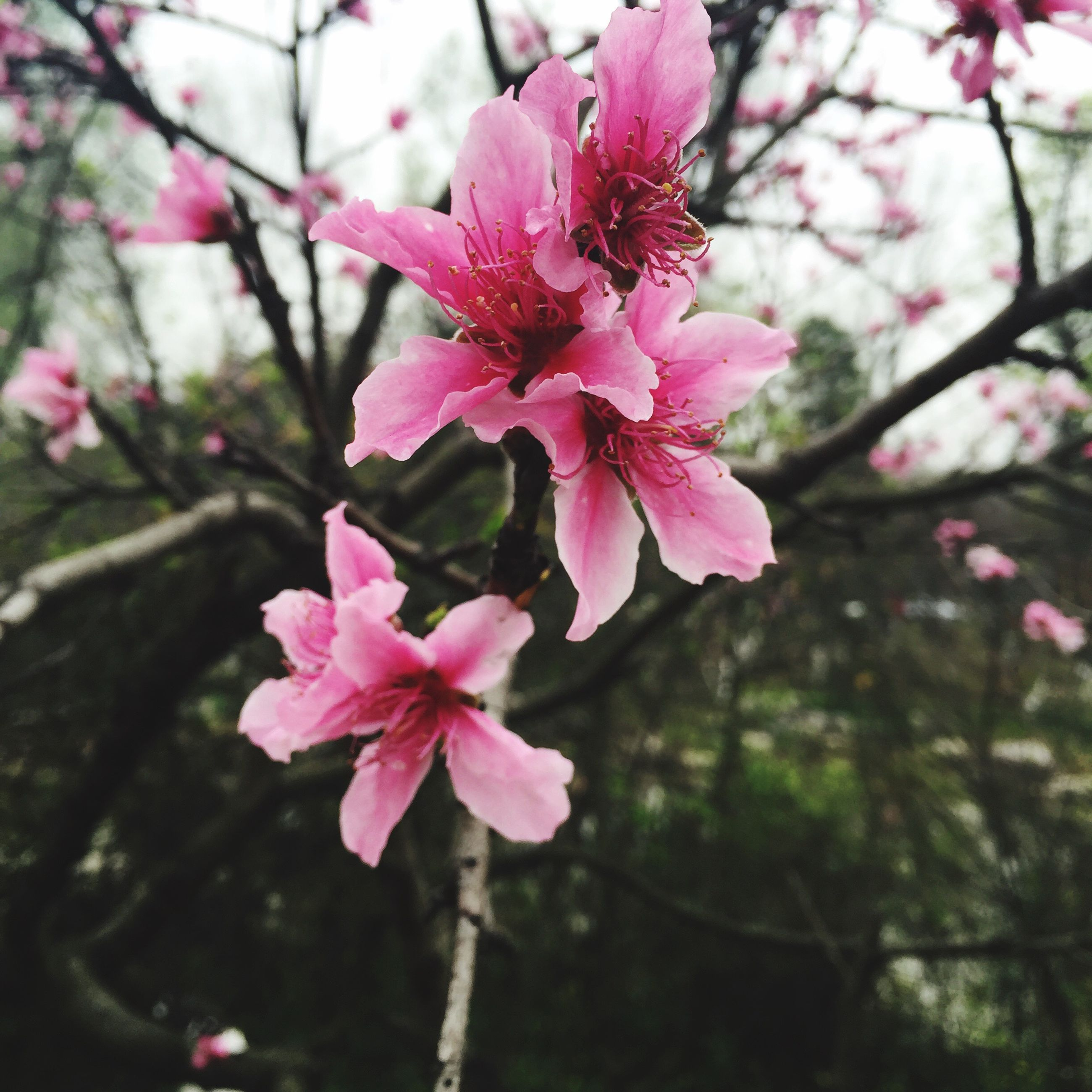 flower, freshness, pink color, growth, fragility, beauty in nature, branch, petal, tree, focus on foreground, nature, close-up, blossom, flower head, blooming, in bloom, cherry blossom, pink, springtime, day