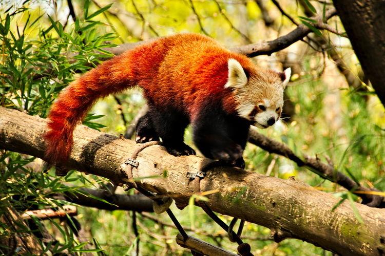 Redpanda Animal