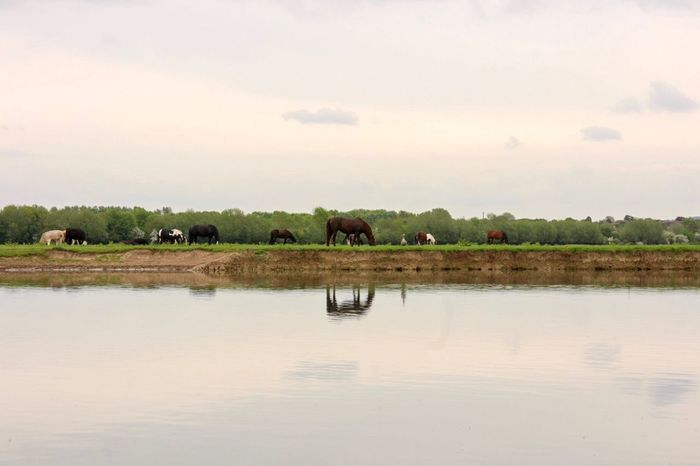 River Water Sky Animal Themes Animal Mammal Group Of Animals Vertebrate Domestic Animals Agriculture Scenics - Nature Reflection Nature Livestock Lake Beauty In Nature Waterfront Plant Landscape Tranquility No People