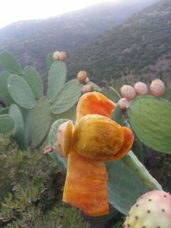 Prickly Pear Cactus Mountain Cactus Close-up Sky Plant Landscape