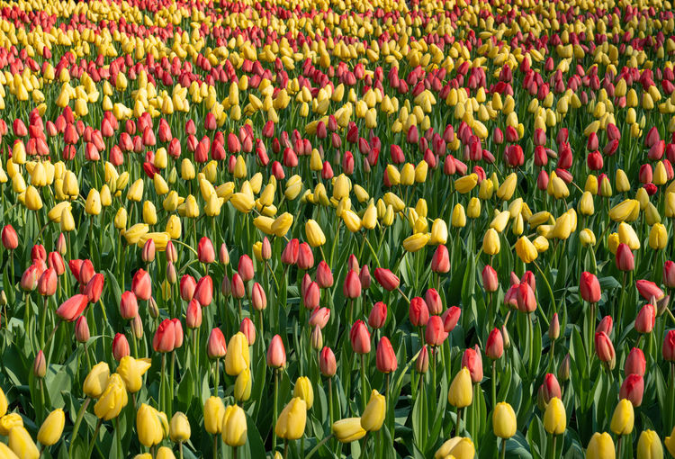Full frame shot of multi colored tulips in field