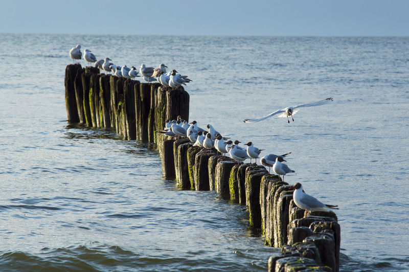 Seagulls Terns Animal Themes Beach Bird Day Flock Of Birds Flying In A Row Nature No People Outdoors Sea Sky Spread Wings Water Waves Wooden Posts