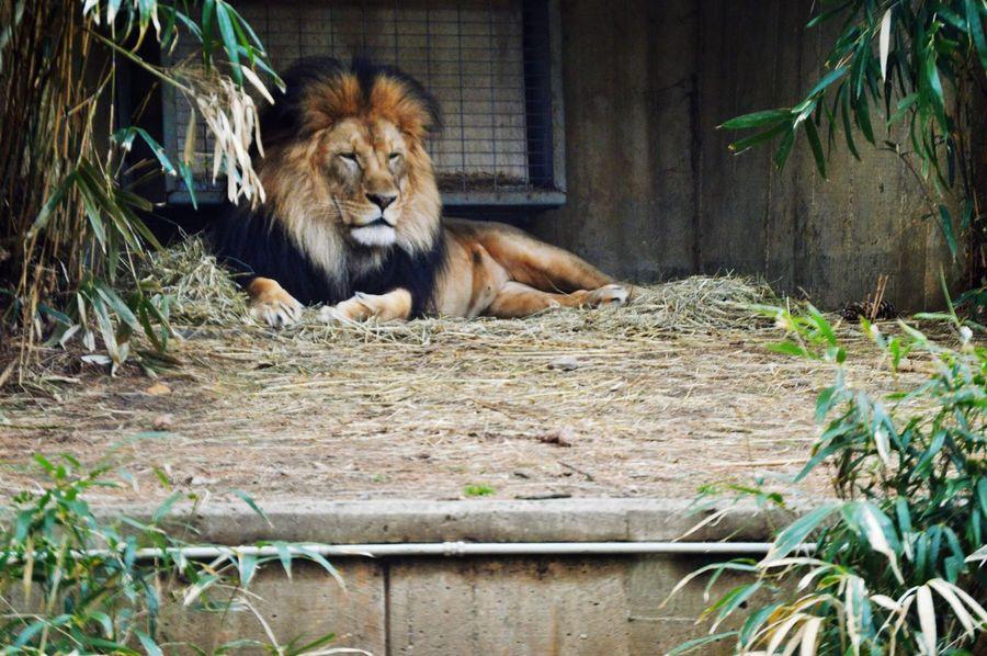 Photography Wildlife Lion
