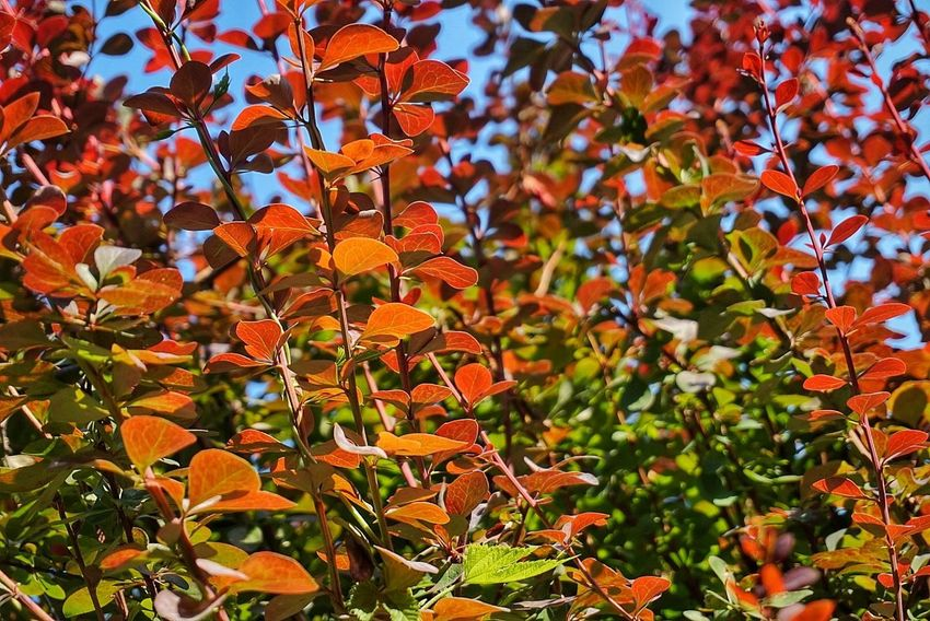 Leaf Nature Outdoors Tree Day Beauty In Nature Colors Beautyful Colours Red Green Orange Plants Summer