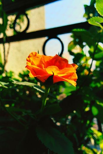 A Rose....🌹 Learn & Shoot: Simplicity The Great Outdoors - 2015 EyeEm Awards EyeEm Best Shots - Flowers Flowerporn Flowers Flowergasm OrangeYouGladItsSpringtime Showcase: November Orangeisthenewblack Cheers 🍻