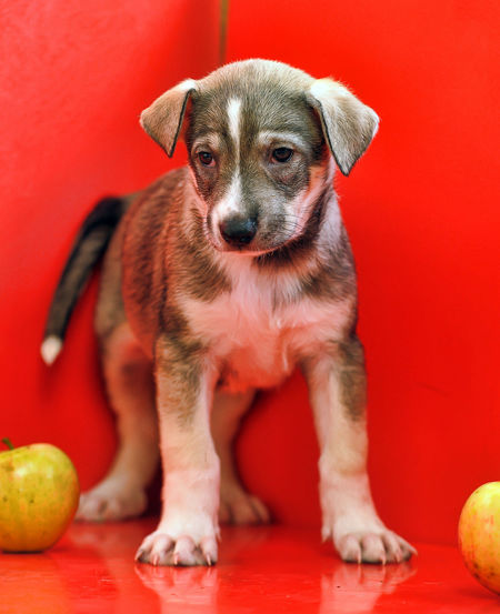 Portrait of puppy on red ball