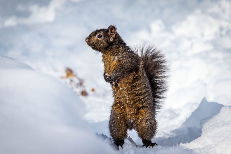 Squirrel on snow covered land