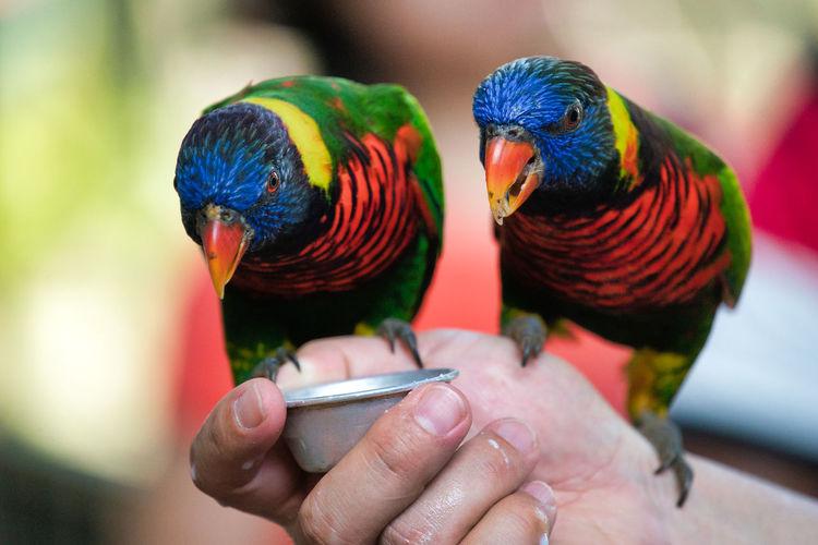 Cropped image of hands feeding rainbow lorikeets