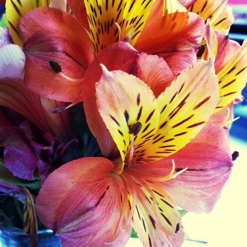 Flowers Enjoying Life Astromelias