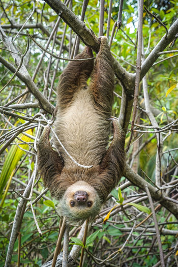 Close-up portrait of sloth hanging upside down on branch in forest