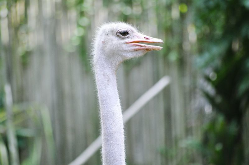 Portrait of an ostrich against blurry background