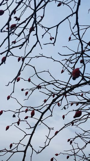 Tree Clear Sky Outdoors Beauty In Nature Red Nature Fruit Hagebutten Hagebutte  Old Not Fresh