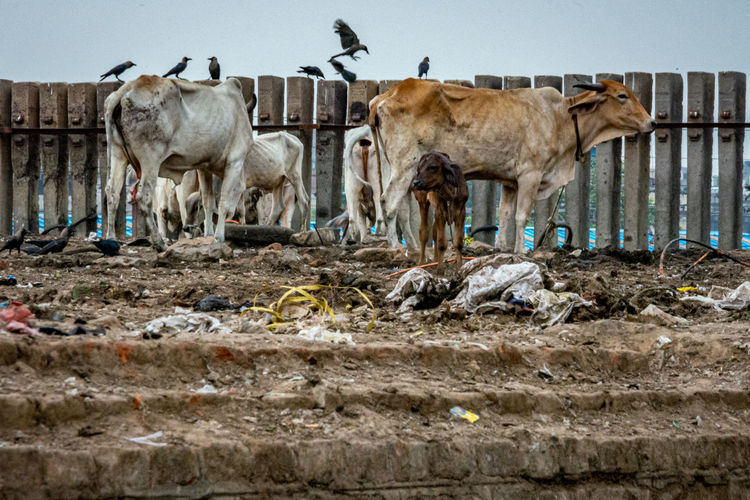 Cows standing on landfill