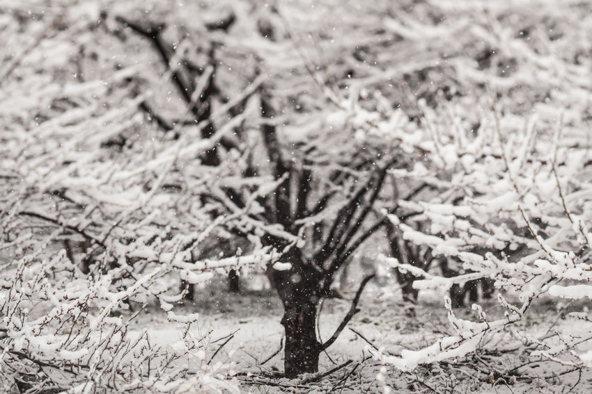 Winter, Snow on Plum Trees Beauty In Nature Branch Christmas Cold Day Falling Forest Ice Nature Outdoors Pattern Scene Season  Snow Snow Covered Snow ❄ Snowfall Snowflake Snowing Tree White Winter Wintertime Xmas
