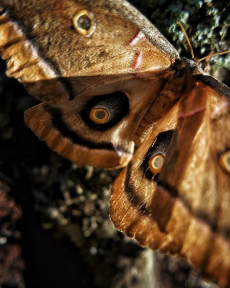 Antheraea polyphemus. Antheraea Silk Moth Saturniinae North America Entomology Close-up One Animal Insect Focus On Foreground Butterfly - Insect Moth Perching Outdoors Day No People Animal Body Part Wings Macro Nature Macro World Fine Art Photography Nature Tan Color Science And Technology Stem Macro Insects The Great Outdoors - 2017 EyeEm Awards