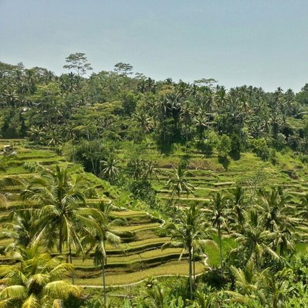 Spectacular rice terraces of Tegalalang Beautiful Bali