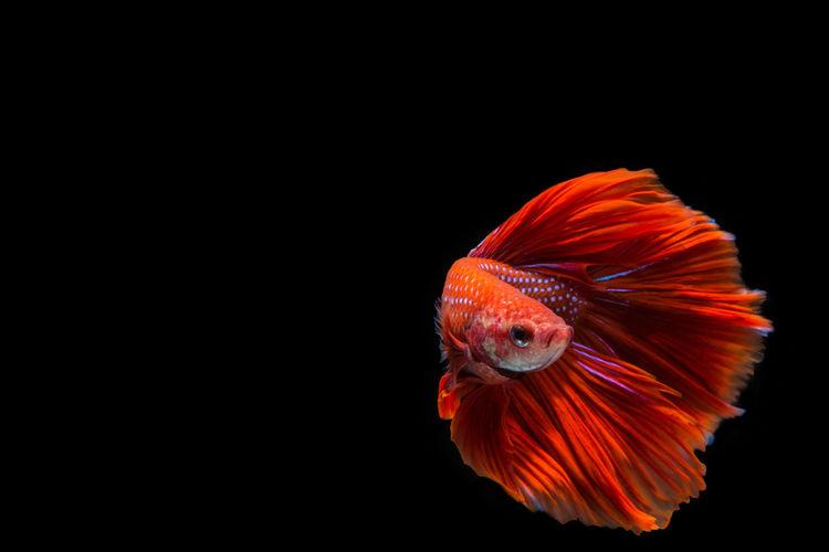 Close-up of orange fish against black background