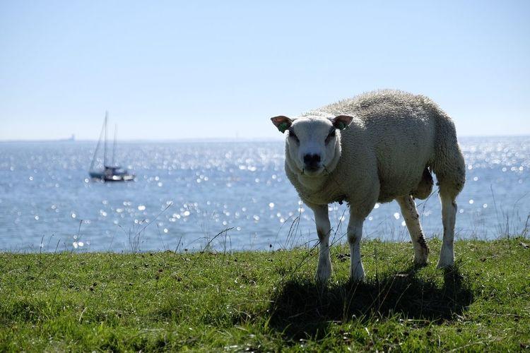 Netherlands Holland Urk Sheep Ijsselmeer Dike Summer 2015