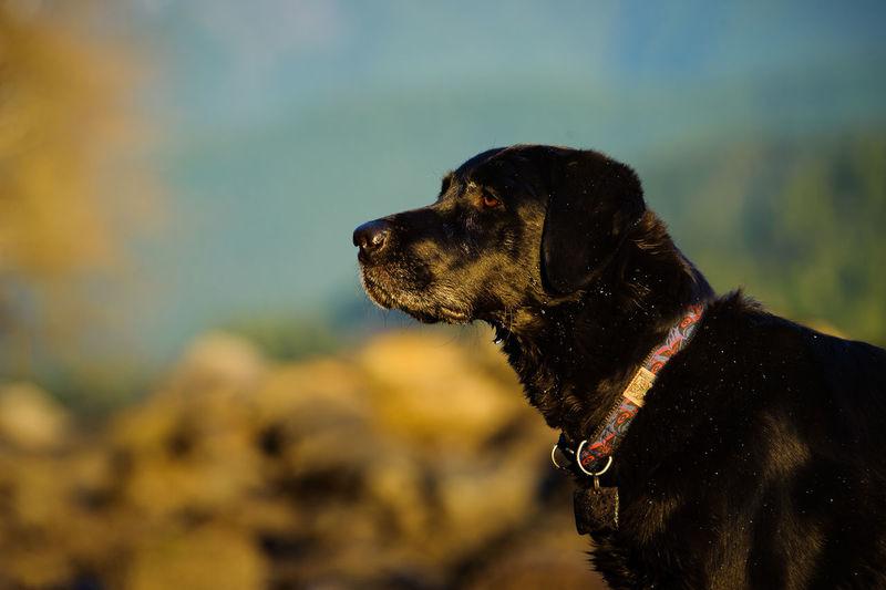 Side view of black labrador retriever looking away