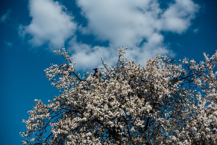 Warsaw in Spring The Week on EyeEm Light And Shadow Spring Street Photography Capture The Moment Nikon D750 Traveling City Life Sky Plant Cloud - Sky Beauty In Nature Growth Springtime Flowering Plant Nature Low Angle View Fragility Flower Branch Tree Vulnerability  Blossom Blue Day White Color Freshness No People Cherry Blossom Outdoors Cherry Tree