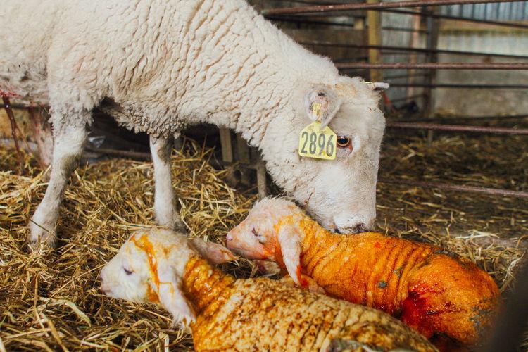Close-up of sheep with lamb at pen