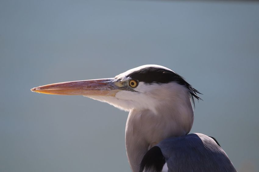 Airone Cenerino Birdwatching Bird Animal Wildlife One Animal Beak No People Close-up Outdoors